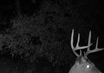 Trophy Midwest Whitetails